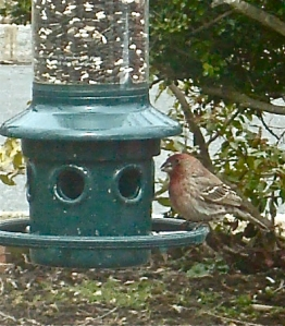 The House Finch, native to California, is a relative newcomer in Princeton.