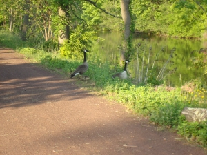 Be careful when approaching a goose family.